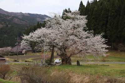 樹齢650年尾所の大桜と布滝