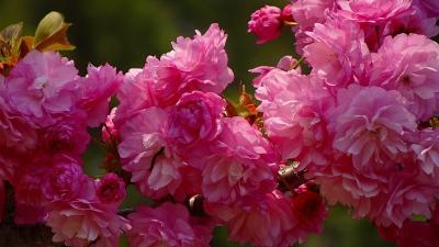 緑ヶ丘公園の「桜の丘」に咲く桜を見に出掛けました その4。