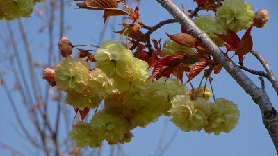 緑ヶ丘公園の「桜の丘」に咲く桜を見に出掛けました その5。