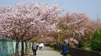 緑ヶ丘公園の「桜の丘」に咲く桜を見に出掛けました その6。