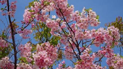 緑ヶ丘公園の「桜の丘」に咲く桜を見に出掛けました その7。