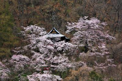 """信州・「中野市、山ノ内町、須坂市」""""桜見物""""!!!"""