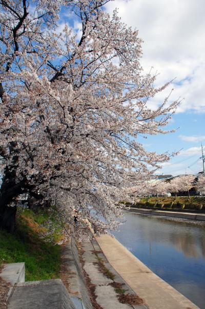 2020年の京都自然200選~久御山東一口前川堤桜並木2