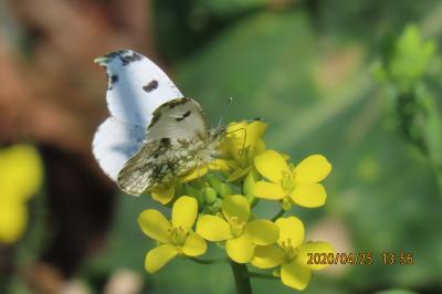 森のさんぽ道で見られた蝶⑭ツマキチョウ、テングチョウ、キチョウ、モンシロチョウ
