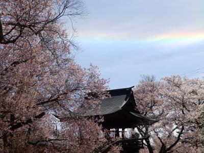 桜アーカイブ2019 -蓼科