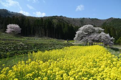 惜しむ春、北信濃の桜前線は終盤・・・