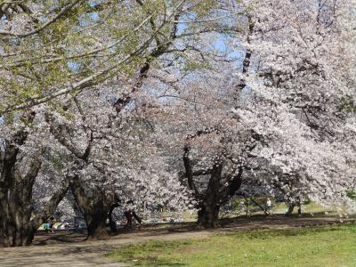 桜アーカイブ2019 -東京