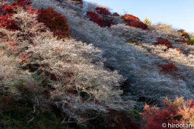 2019 小原四季桜まつりと紅葉