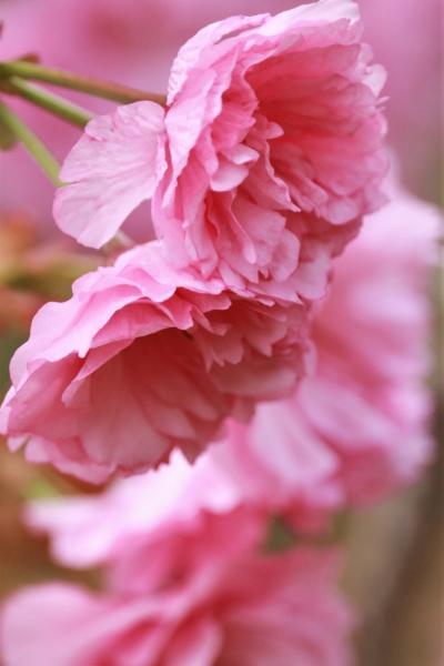 ショートトリップ桜巡り♪ フィナーレは重たげに揺れる八重桜♪ 愛知県緑化センター♪