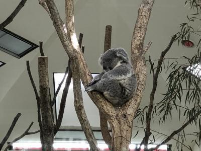 埼玉県こども自然動物公園の人気者はコアラだよ