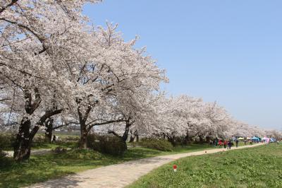 2019年4月、北上展勝地の桜を見に行ってみました。(2020年はコロナで実質閉鎖のようです)