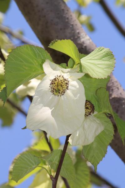 ハンカチノキが見頃の翌週の智光山公園の植物園~オオデマリがなくなっていなかった!~風景撮影を楽しむ