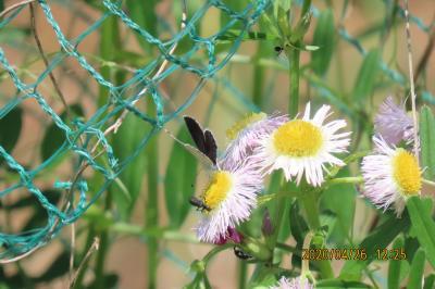 森のさんぽ道で見られた蝶⑮ツバメシジミチョウ、モンシロチョウ、ヤマトシジミ