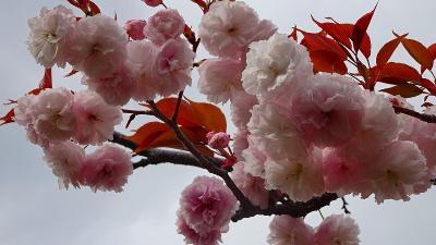 みどりのプラザと天神川堤の花見を堪能し、荻野地区の散策をして帰りました その1。