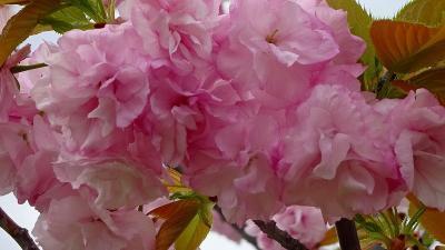 みどりのプラザと天神川堤の花見を堪能し、荻野地区の散策をして帰りました その2。