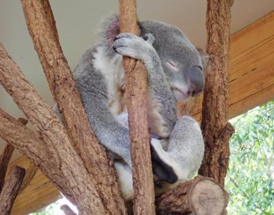 往復ANA夜行便でシドニーとブリスベン3泊6日③ ~ブリスベンでコアラを抱っこ!~
