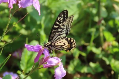 森のさんぽ道で見られた蝶⑯ナミアゲハ、ツマグロヒョウモン、ツバメシジミ、ヤマトシジミ、ベニシジミ他