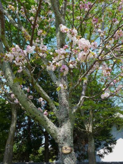 奈良ノ八重桜巡り ! 奈良公園
