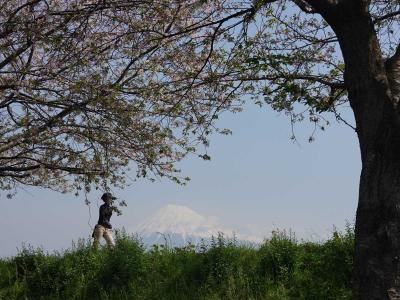 散歩・桜が散り始めた潤井川周辺 2020.04.16