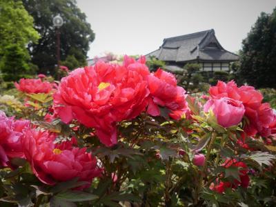 「大慶寺」のボタン_2020_4月21日:見頃が始まっていました(群馬県・太田市)