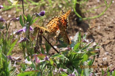 森のさんぽ道で見られた蝶⑰ツマグロヒョウモン、コ三スジ、テングチョウ、キチョウ、モンシロチョウ