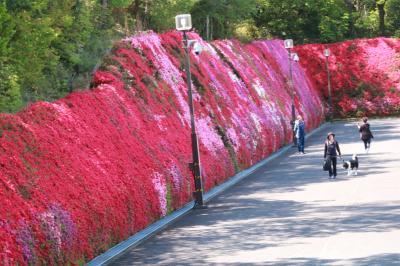 ショートトリップ花巡り♪ キリシマツツジの花の壁♪ 満開のつどいの丘♪