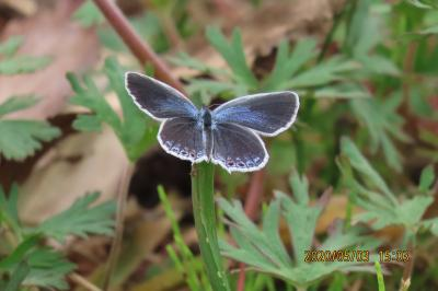 森のさんぽ道で見られた蝶⑱ナミアゲハチョウ、ダイミョウせせり、ツマグロヒョウモン、ツバメシジミ他