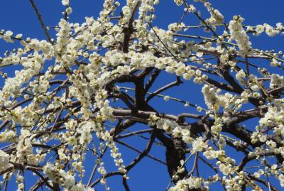 2020新春、今年最後の枝垂れ梅(3/6):2月28日(3):名古屋市農業センター(3):藤牡丹枝垂れ、満月枝垂れ、玉垣枝垂れ、千鳥枝垂れ