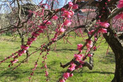 2020新春、今年最後の枝垂れ梅(4/6):2月28日(4):名古屋市農業センター(4):枝垂れ梅林、千鳥枝垂れ、紅枝垂れ
