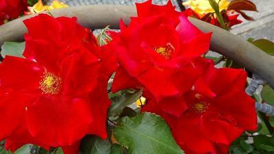 荒牧バラ公園のバラが見頃です。