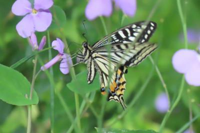 森のさんぽ道で見られた蝶その他⑲アゲハ蝶、ツマグロヒョウモン、コミスジ、ダイミョウセセリ他