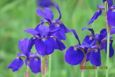 ふじみ野市西鶴ケ岡地区を散策して見られた花