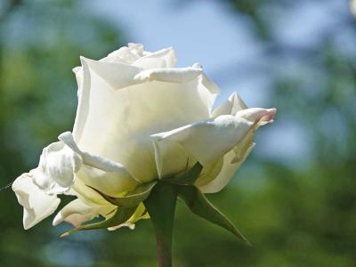 散歩・広見公園でバラを見ながら… 2020.05.05
