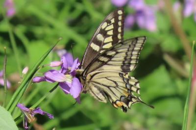 森のさんぽ道で見られた蝶⑳キアゲハ、コミスジ、ツバメシジミその他