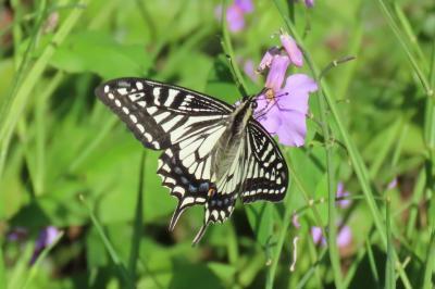 森のさんぽ道で見られた蝶(21)アゲハチョウ、テングチョウ、コミスジ、スジグロシロチョウ、キチョウ他