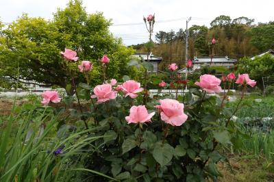 畑の道路側に花壇(横浜市戸塚区金井町)