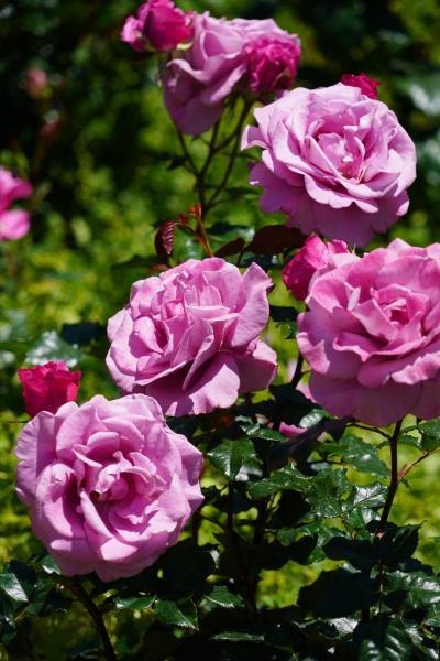 20200511 大阪 靱公園の銅像と薔薇と
