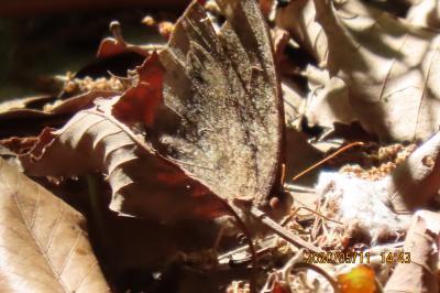 森のさんぽ道で見られた蝶(22)サトキマダラヒカゲ、クロコノマチョウ、テングチョウ、アゲハチョウ他