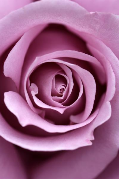 GWの後も智光山公園の植物園へ~今度はバラが咲き始めたバラ園をメインに散策~曇天でまだ花数が少ないゆえにマクロレンズでも迫る