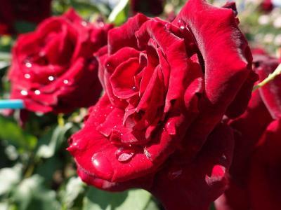 散歩・晴れた日に中央公園でバラを見ながら…=リベンジ= 2020.05.07