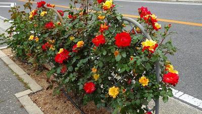 荒牧バラ公園のバラを見に行きました 上巻。