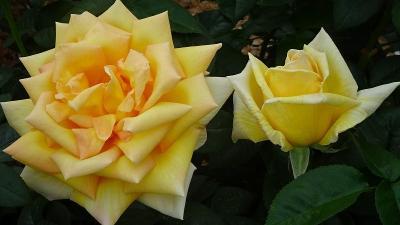 荒牧バラ公園のバラを見に行きました 下巻。
