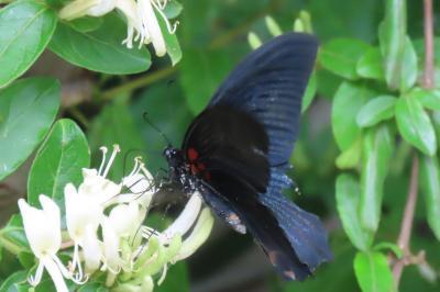 森のさんぽ道で見られた蝶(23)ナガサキアゲハ、キチョウ、コミスジ、ダイミョウセセリその他