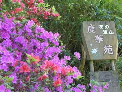 九輪草が見頃 !桜井・ 鹿華苑