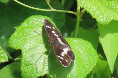 森のさんぽ道で見られた蝶(24)イチモンジチョウ、アカボシゴマダラ、キチョウ、ツマグロヒョウモン他