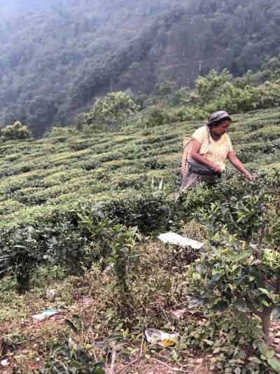 【紅茶の旅】夢のコルカタとダージリン②ダージリンの有名茶園バンガローにステイ