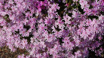 荒牧バラ公園のバラの花とみどりのプラザの花壇 その2。