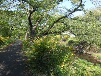 井出の山吹(Japanese Rose, Tamagawa River, Tamamizu, Ide, Kyoto, JP)