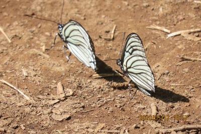 森のさんぽ道で見られた蝶(25)アカボシゴマダラ、イチモンジチョウ、ツマグロヒョウモンその他