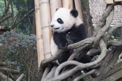 【成都】パンダを見て豚の脳を食す大晦日 3日目